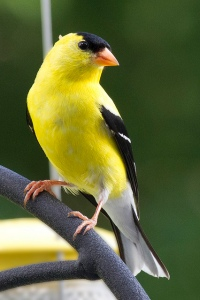 American goldfinch Photo by JD. Used under CC by 2.0.