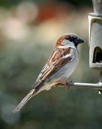 House sparrow. Photo by Jimmy Smith. Used under CC by 2.0.