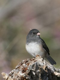 Dark-eyed junco. Photo by Jean-Guy Dallaire. Used under CC by 2.0.