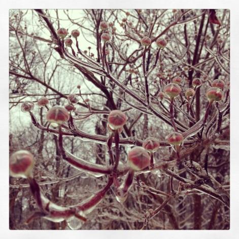 frozen dogwood