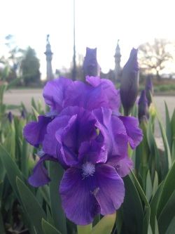 Iris Pumila, Dwarf Iris 'Manhattan Blues'