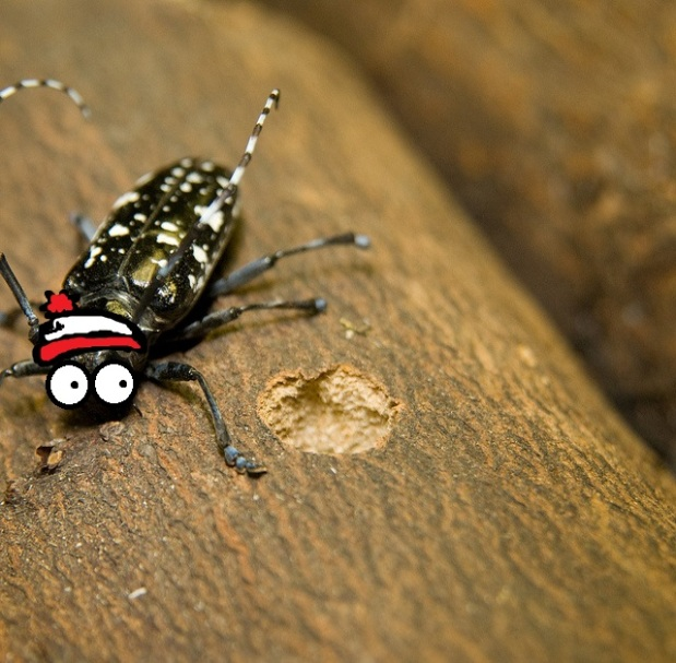 On the Lookout: Asian Longhorned Beetle and the Parks