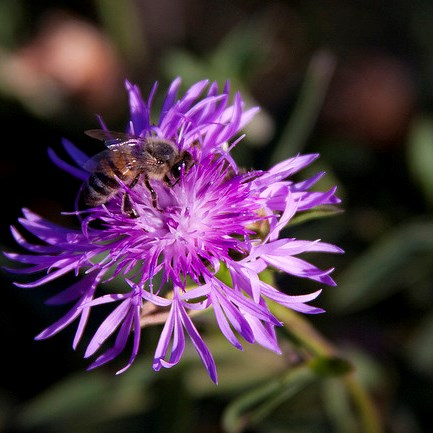 Purple aster plus pollinator. Photo by Melissa McMasters