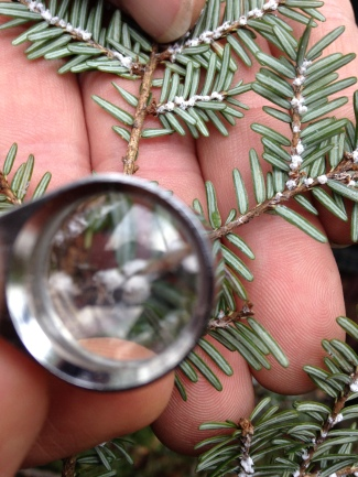 eastern hemlock magnified