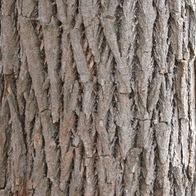 sassafras bark